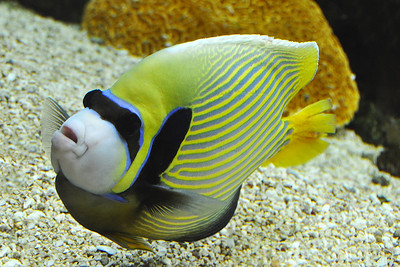 Fort Worth - Emperor Angelfish
