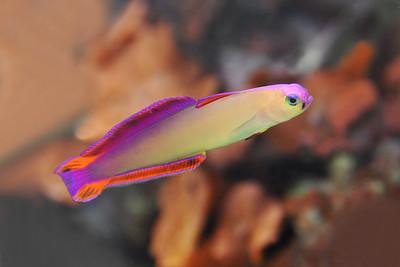 Dallas - Purple Firefish Goby