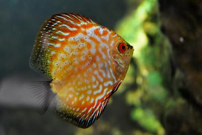 Dallas - Red Turquoise Discus Fish