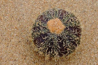Mirissa - Sea Urchin