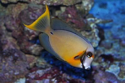 Dallas - Chocolate Surgeonfish