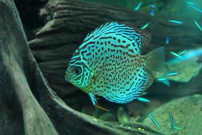 Dallas - Green Discus Fish
