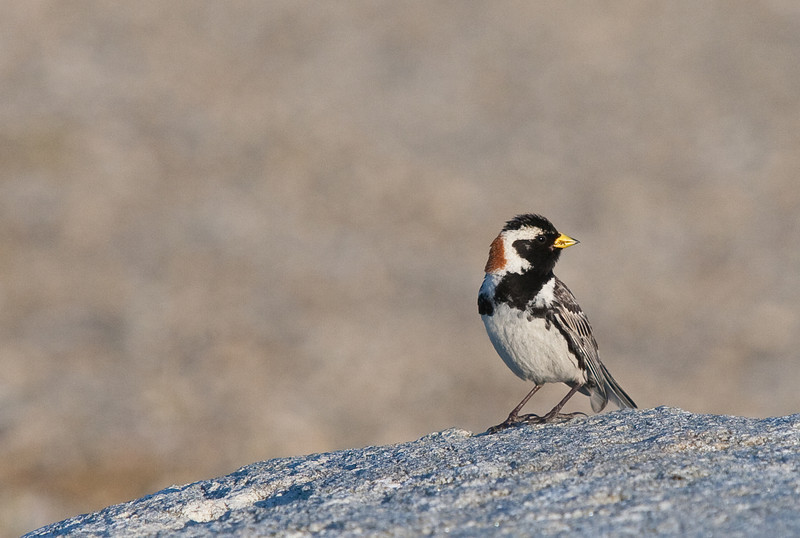 A Lapland longspur near Safety Sound, Alaska. About 20 miles east of Nome.