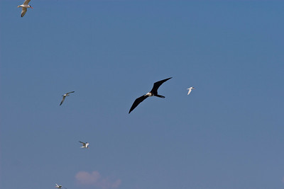 Frigate bird and terns in Mexico