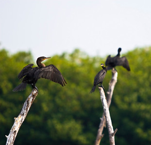 Drying cormorants