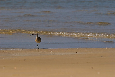 Godwit in Mexico