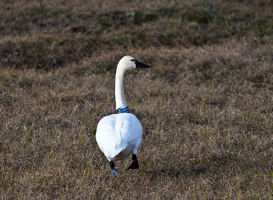 Banded swan - North Slope Alaska