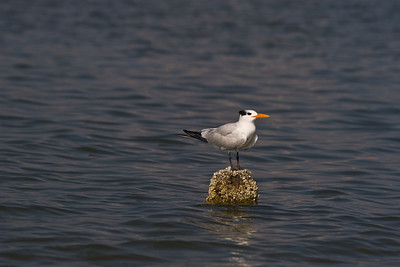 Tern relaxing in Mexico