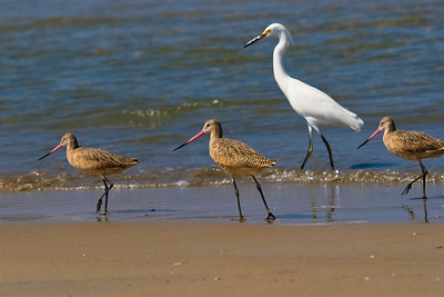 Godwits and egret in Mexico
