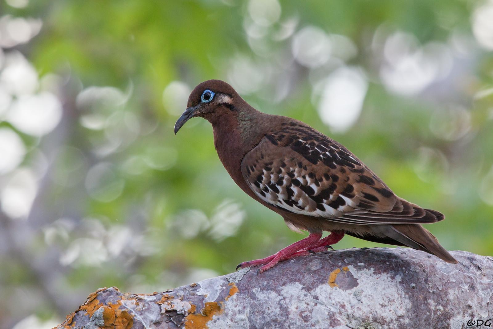 Ecuador, Galápagos, Genovesa: Galápagos Dove.