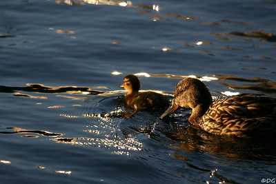 Sweden, Stockholm, Kungsholmen: Mallards at dusk.