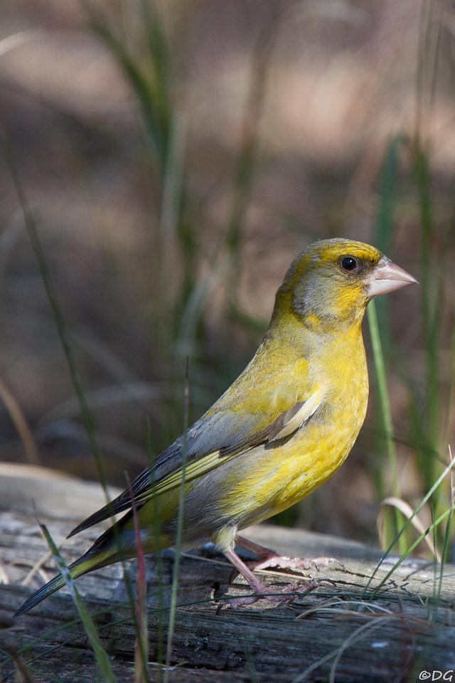 Sweden, Gotska Sandön: European Greenfinch (Grönfink).