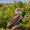 Ecuador, Galápagos, North Seymour: Blue-footed Booby (Blåfotad sula).
