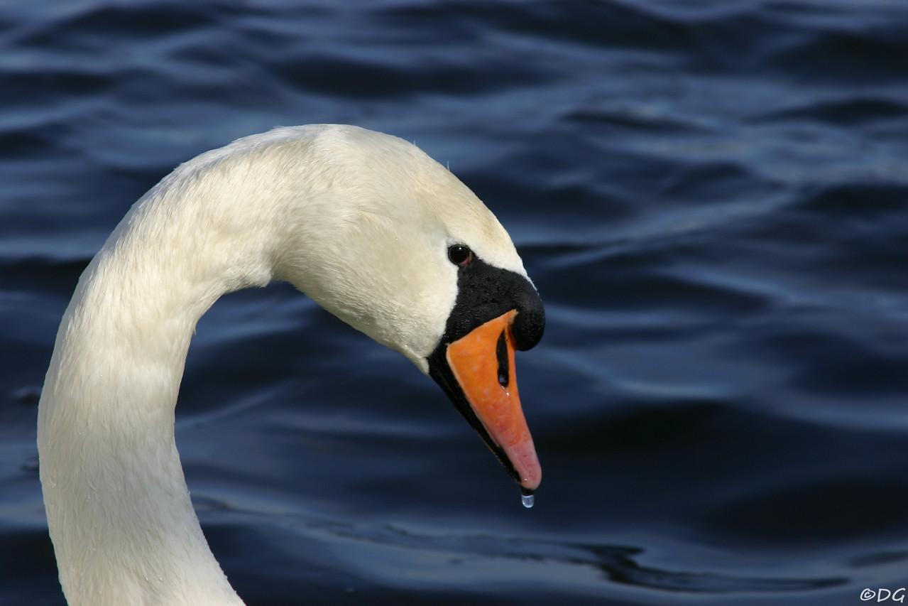 Sweden, Stockholm, Kungsholmen: Mute Swan (Knölsvan).