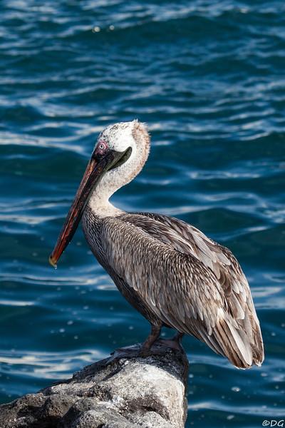 Ecuador, Galápagos, North Seymour: Brown Pelican, adult, non-breeding (Brun pelikan).