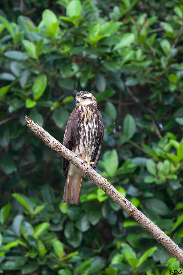 Ecuador, El Oriente, Yasuni National Park, Añangu Lake: Young and/or female Snail Kite? (Snäckglada?)