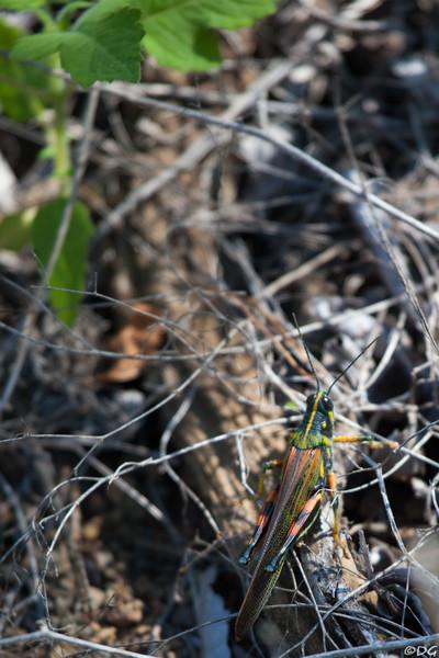 Ecuador, Galápagos, Floreana, Punta Cormorant: Galápagos Painted Locust.