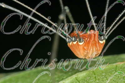 Orange and black daddy longlegs on a green leaf