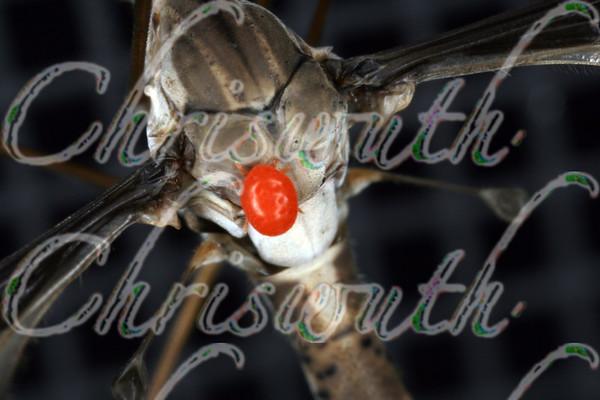 Crane Flies (Tipulidae)
