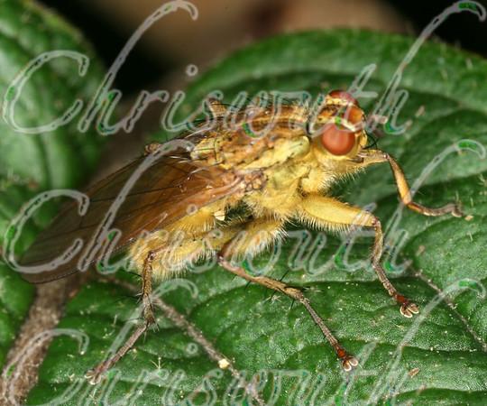 Dung Flies (Scathophagidae)