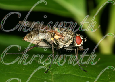 Flesh Flies (Sarcophagidae)