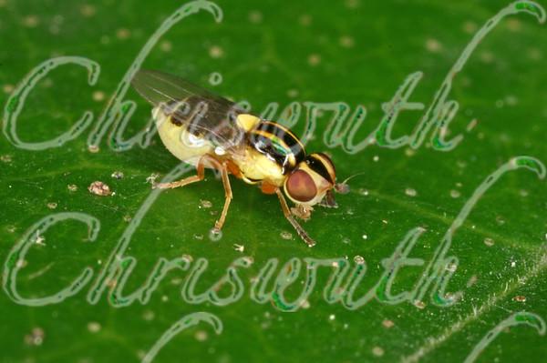 Grass Flies (Thaumatomyia)