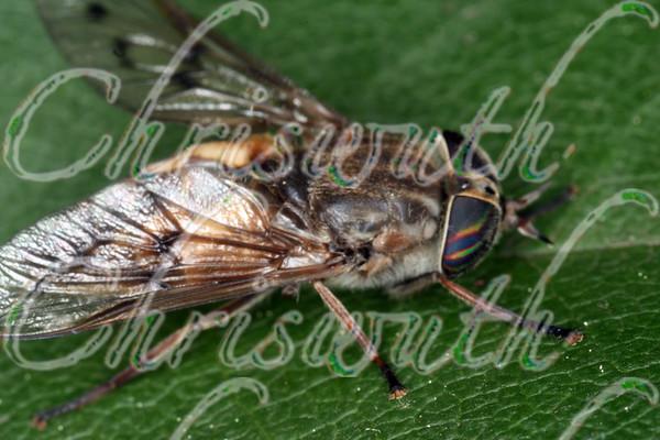 Horse and Deer Flies (Tabanidae)