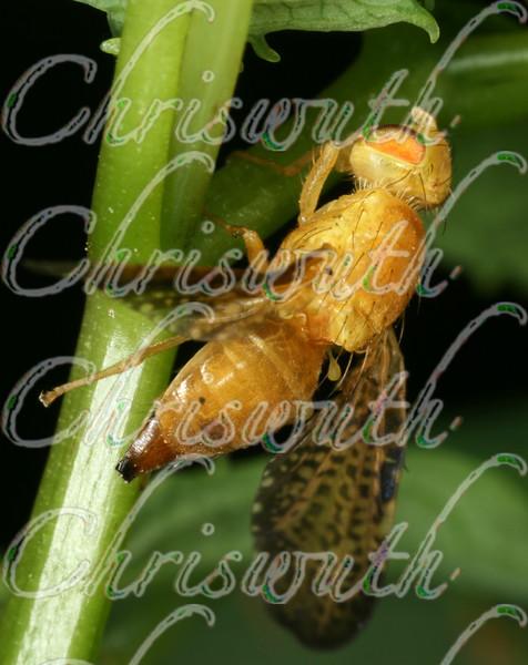 Large Fruit Flies  (Tephritidae)