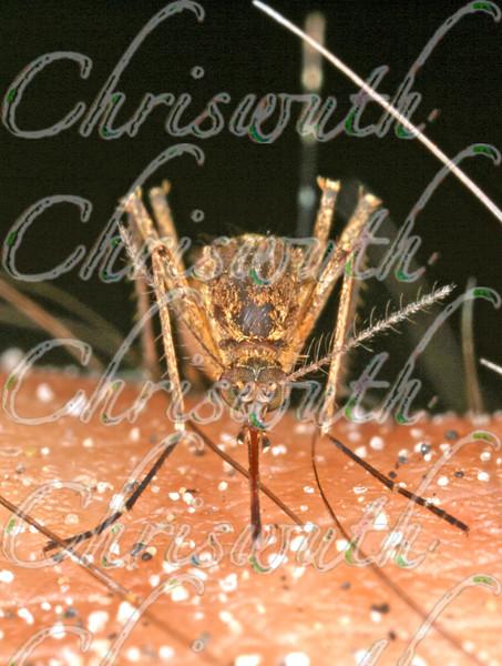 Mosquitoes  (Cullicidae)