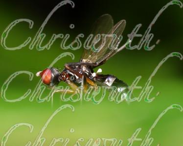 Thick-Headed Flies (Conopidae)