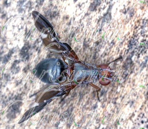 Ulidiidae (Picture-winged flies)