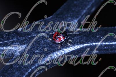Tiny burrower bug (Sehirus cinctus).