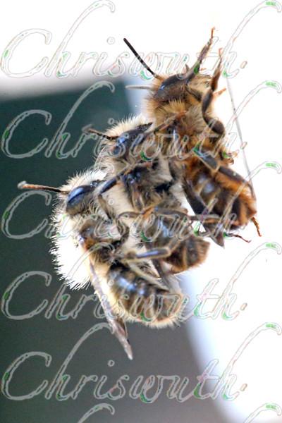 Antophila (bees)