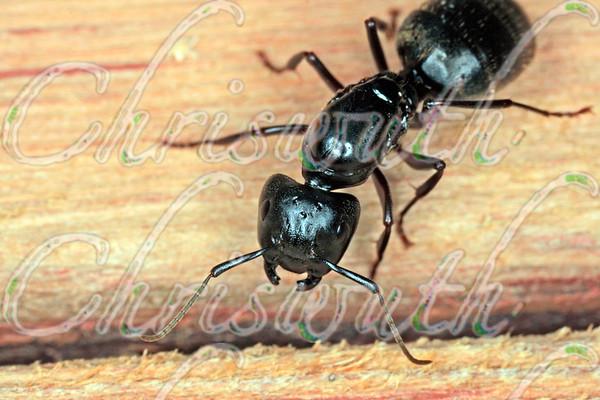 Formicidae (ants)