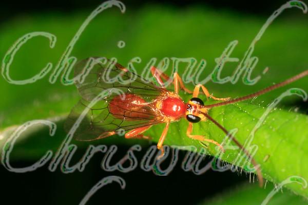 Hymenoptera - Wasps