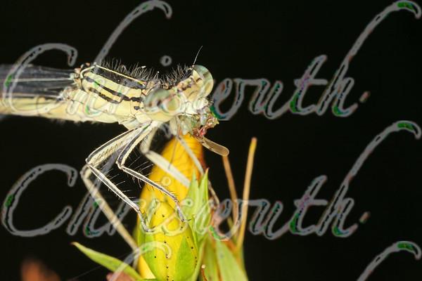 Zygoptera (Damselflies)