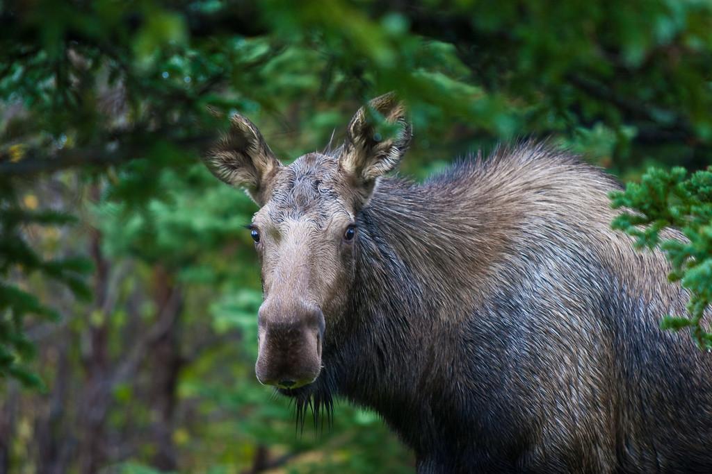 Young moose in Anchorage, Alaska