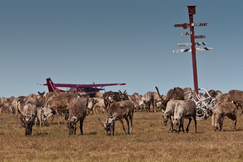 Central Arctic Caribou Herd near the mouth of the Colville River at the Arctic Ocean