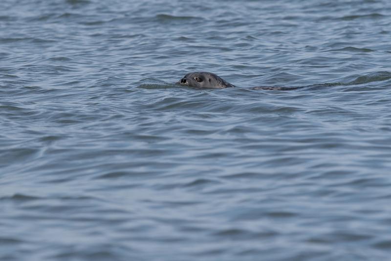 Ring seal in the Arctic Ocean