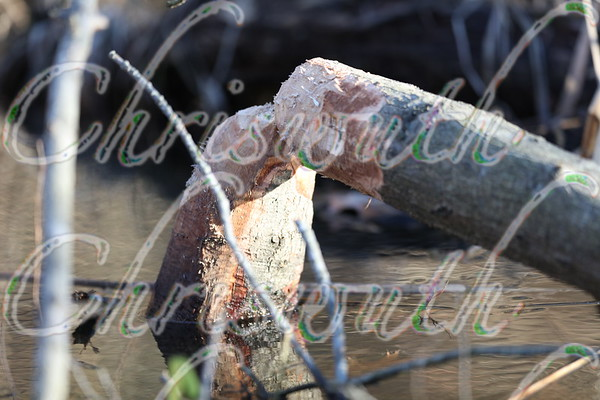 Beaver damages & trees remains
