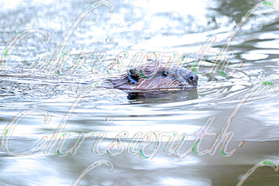 Easter beaver