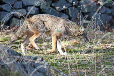 Coyotes  from Chestnut Hill (MA)