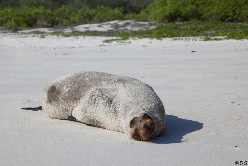 Ecuador, Galápagos, Española, Garner Bay: Sea Lion rolled in sand.