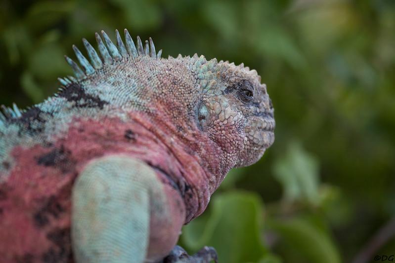 Ecuador, Galápagos, Española, Punta Suarez: Marine Iguana.