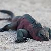 Ecuador, Galápagos, Española, Punta Suarez: Marine Iguana lying low.