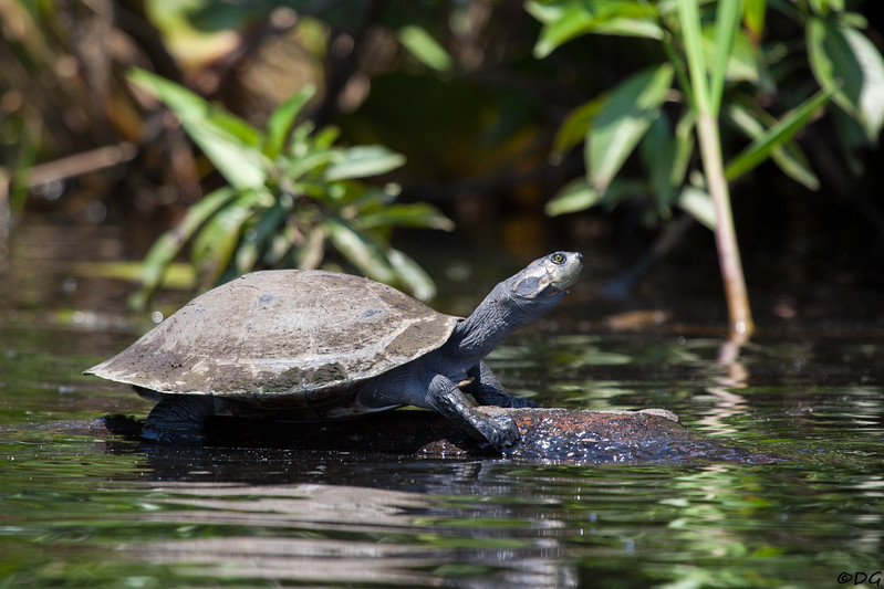 Ecuador, El Oriente, Yasuni National Park, Añangu Lake: Amazon River Turtle.