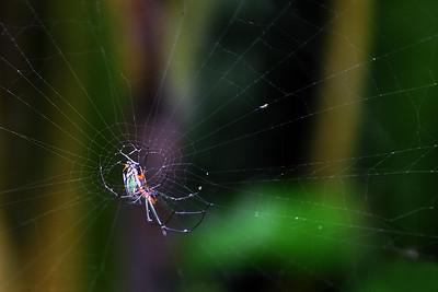 Boquete - Orchard Orbweaver in Web