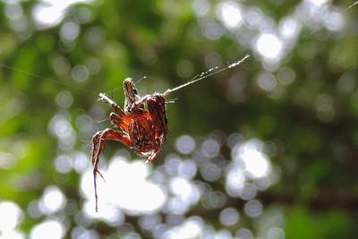 Knuckles Range - Unidentified Spider