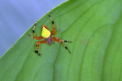 Isla Bastimentos - Orbweaver Spider