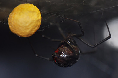Fort Worth - Black Widow ♀